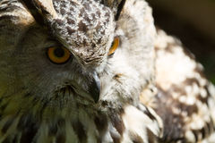 Eye of eagle owl Royalty Free Stock Photos