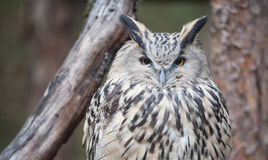 Eye of eagle owl Stock Image