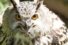 Eye of eagle owl Royalty Free Stock Image