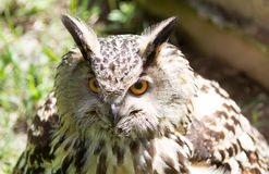 Eye of eagle owl Stock Photo