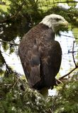Eye of an Eagle Royalty Free Stock Photography