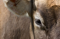 Eye and Ear of a Cow Stock Image