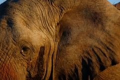 The eye of the elephant Stock Photography