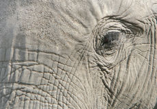 Eye of the elephant. A close-up of an elephant eye with long lashes Stock Photo