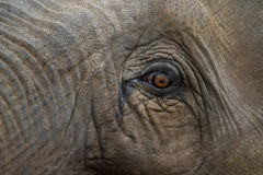Eye of an elephant. Portrait of an asian elephant Royalty Free Stock Images