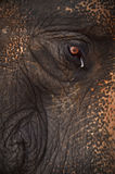 Eye elephant. Garden Elephant Show the love and beauty of the elephant Royalty Free Stock Photography