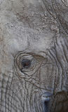Eye elephant Stock Photo