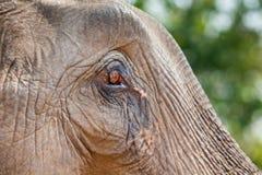 Eye of elephant Stock Image
