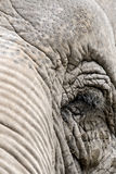 Eye of an elephant Royalty Free Stock Photography