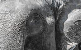 The eye of the elephant skin wrinkled gray large close. The horizontal frame. Stock Photo