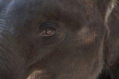Eye  elephant Stock Image
