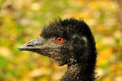 Eye of an emu Stock Images