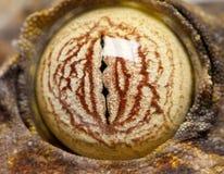 Eye en un Gecko atado hoja - fimbriatus de Uroplatus foto de archivo libre de regalías