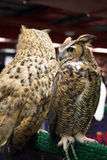 Eye of European eagle owl Stock Photo