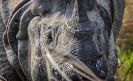Eye in eye with a One Horn Rhinoceros. Profile picture of a One Horned Rhinoceros at the Chitwan National Park in Nepal Stock Photos