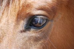 Eye and eyelash horses stock photo