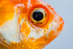 Eye and faces goldfish. Macro close up eye and faces goldfish Royalty Free Stock Photography