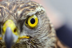 Eye of the Falcon Royalty Free Stock Images
