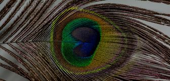 Eye / Feather of a Peacock royalty free stock photography
