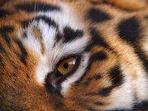 Eye of the fierce tiger.  royalty free stock images