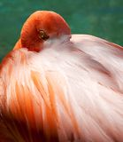 Eye of the Flamingo Stock Photography