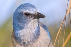 Eye of A Florida Scrub Jay Royalty Free Stock Image