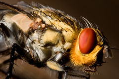 Eye of the fly. Macro closey of a fly with gold head, red compound eyes and a spikey tongue. Image captured using a 60mm macro lens and extension tubes royalty free stock photo