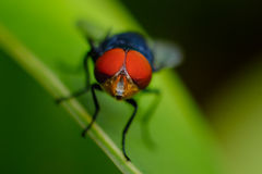 Eye fly. Amezing insect fly red eye Stock Photos