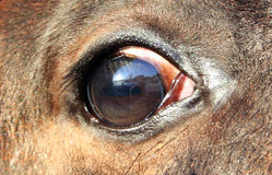 Eye foal. Body of the horse, animal vision, horse looks, sorrel Royalty Free Stock Image