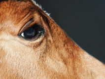 Eye of foal close up Stock Photography