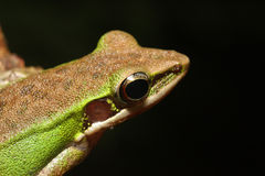 Green Frog. Eye Frog with black background Royalty Free Stock Photo