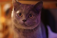 Eye gaze from British Shorthair royalty free stock images
