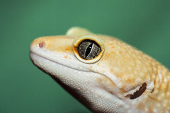 Eye of gecko Stock Photo