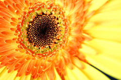 Eye of the Gerbera Stock Image