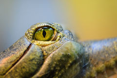 Eye of gharial. Gavial from closeup Stock Photos