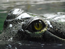 Eye of gharial Royalty Free Stock Images