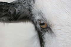 Eye of the Goat Stock Photo