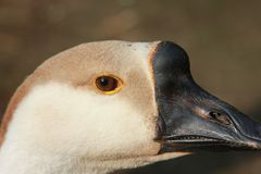 The eye of the goose. The goose head. Closeup. The background out of focus. A sunny day in the village stock photo