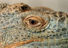 Eye of a Green Iguana Royalty Free Stock Image