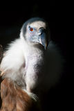 The eye of the Griffon Vulture Stock Images