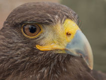In the eye of a Harris's hawk Stock Images