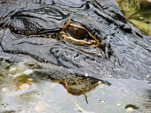 Eye and head of alligator. Close-up of eye and head of alligator partially submerged underwater royalty free stock photography