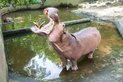 Eye from an hippopotamus Stock Image