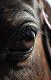 Eye horse Royalty Free Stock Photo