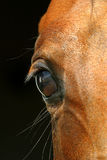 Eye of a horse. Beautiful eye of an arabian horse Royalty Free Stock Images