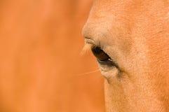 Eye of  the horse. Stock Photo