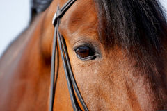 Eye of a horse. In a bridle close up Stock Image