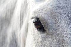 Eye of a horse Stock Images