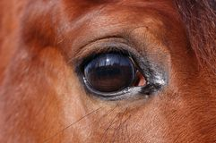 Eye of horse Stock Image
