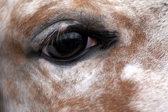 Eye of the horse Royalty Free Stock Images